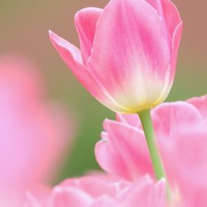 *pink。。横浜公園のチューリップたち。。2♪