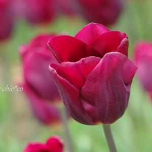 *red。。横浜公園のチューリップたち。。1♪