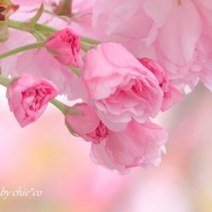 *甘~い pink。。八重桜。。♪