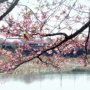 *水辺の春いろ。。 河津桜。。~三浦海岸~2♪