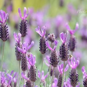*May purple。。ラベンダーと都忘れ。。♪