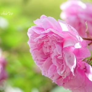 *pink & red。。イングリッシュローズの庭で。。♪