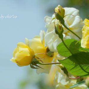 *happy yellow。。イングリッシュローズの庭で。。2♪
