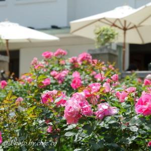 *バラとカスケードの庭。。~横浜港の見える丘公園~♪