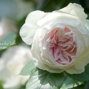 *つるバラの咲く 香りの庭。。♪