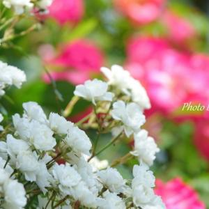 *small and cute roses。。♪