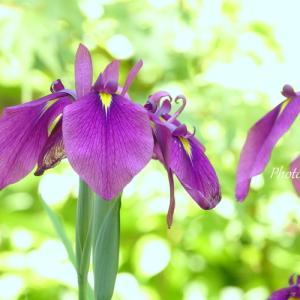 *花菖蒲の咲く・・鎌倉 一条恵観山荘。。♪