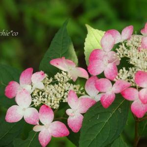*鎌倉浄妙寺に咲く 紫陽花たち。。♪
