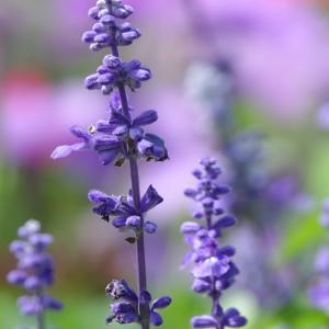 *blue flowers。。♪