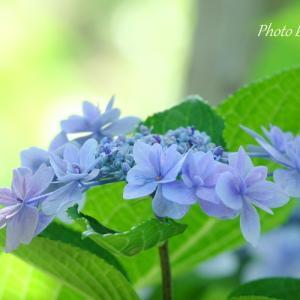*爽やか blue の紫陽花たち。。♪