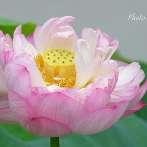 *優美な妙光。。*Lotus Flowers* ♪