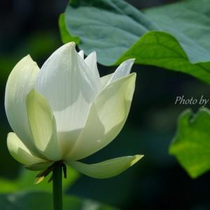 *白蓮の花が咲くころ。。鎌倉 鶴岡八幡宮。。♪