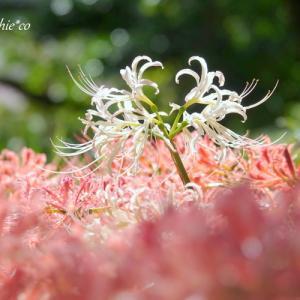 *白and 黄。。横浜 西方寺の彼岸花。。1♪