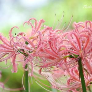 *pink。。横浜 西方寺の彼岸花。。2♪