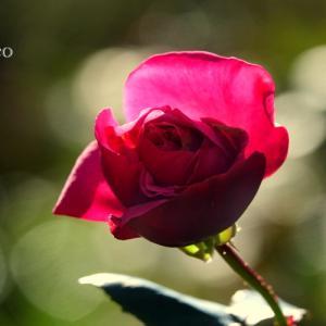 *耀くほほ笑み。。名残りの薔薇たち。。~箱根 強羅公園~1♪