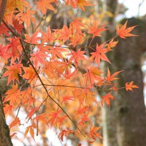 *やわらかな 紅葉(もみじ)彩。。~箱根 岡田美術館庭園~♪