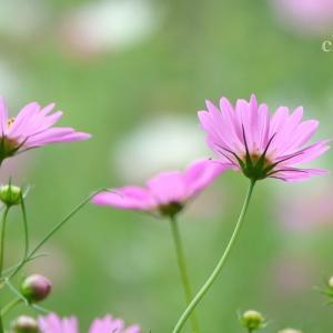 *たおやかに揺れて。。コスモスの花たち。。♪