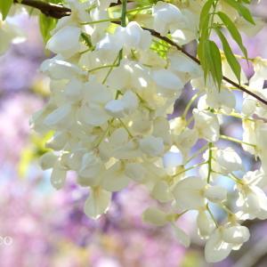 *ほんのり~淡いろの花滝。。~横須賀しょうぶ園~2♪