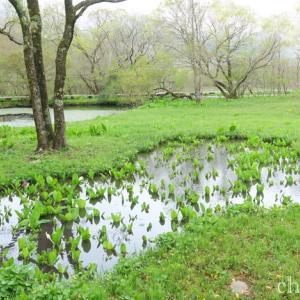 *水芭蕉と。。九輪草。。~春の水辺にて~箱根湿生花園♪