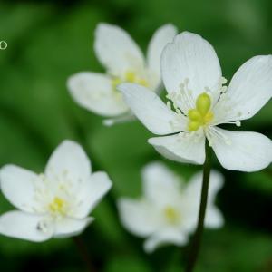*可憐な花群れ。。~二輪草(にりんそう)~箱根湿生花園 2♪