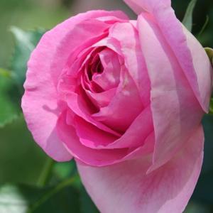 *バラが香る街。。横浜 日本大通り。。♪