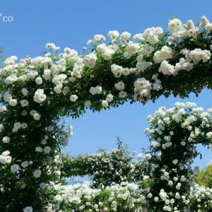 *海辺のバラと。。空と。。マリンタワーと。。~横浜 山下公園~♪
