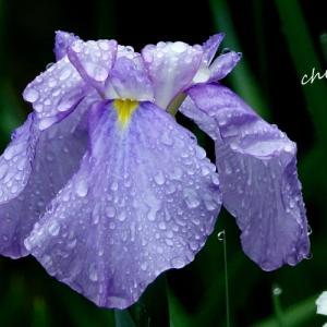 *雨の衣をまとう花菖蒲。。~鎌倉 東慶寺~♪