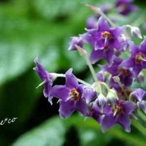*紫いろのお星さま。。~東慶寺のイワタバコ~♪