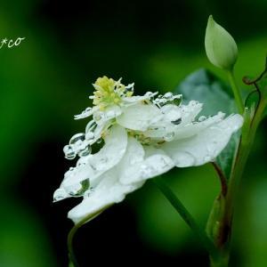 *風待月(かぜまちづき)の白い花たち。。♪
