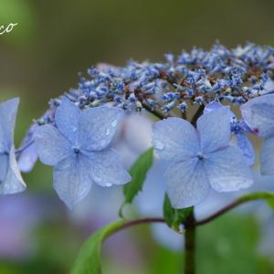 *紫陽花いろ。。~鎌倉 東慶寺~♪