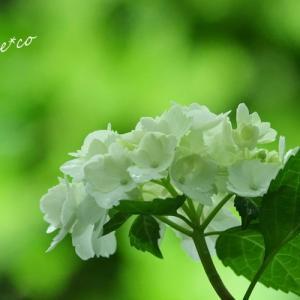 *雨のベールをまとう・・鎌倉 浄智寺にて。。♪