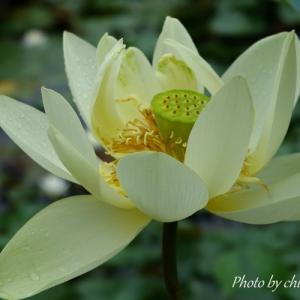 *みずみずしく咲いて。。蓮の花。。♪
