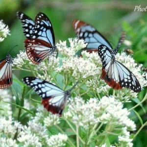 *アサギマダラ*蝶たちが憩う花園。。~箱根駒ヶ岳山頂~♪