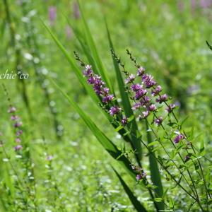 *高原のビオトープ。。~箱根湿生花園~2♪
