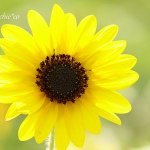 *晩夏のかがやき。。ひまわり yellow~。。♪