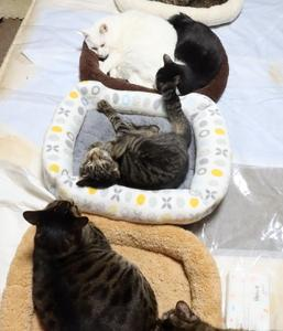 僕のベッドは猫たちの憩いの場