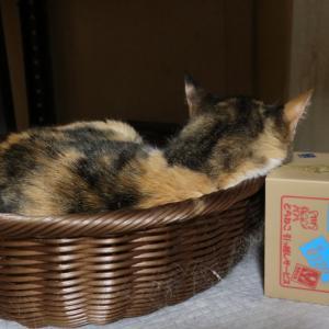 ツンデレ三毛猫好き冥利に尽きる件