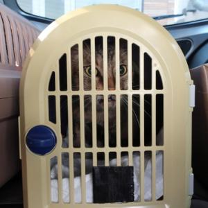 月曜日は手術したフクのお迎え、ルイ膀胱炎、ショウ摘便で病院へ行ってきました