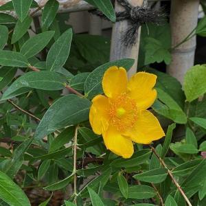 キンシバイが咲き始めて・・・