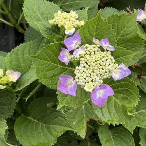 多彩な紫陽花の中で・・・