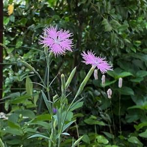 秋の七草カワラナデシコが咲いて・・・