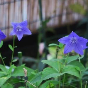 返り咲きは植物の力を・・・