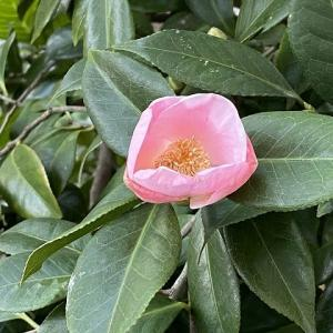 「初椿」が咲き出しました・・・