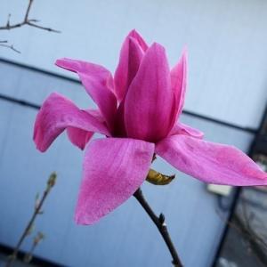 一輪、赤紫のモクレンが咲きました~♪