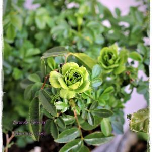 ちいさなベランダガーデン便り~バラも咲いてしまうほどの暖冬を越えて