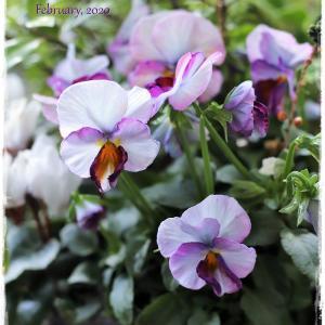 ちいさなベランダガーデン便り~淡い色味のビオラとレモンイエローの花々