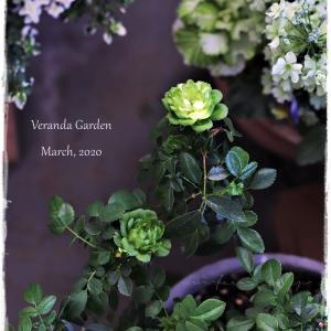 ちいさなベランダガーデン便り~3月にバラが咲いて、戸惑っています…