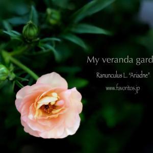 花と暮らす~Instagramより~アリアドネに魅せられて