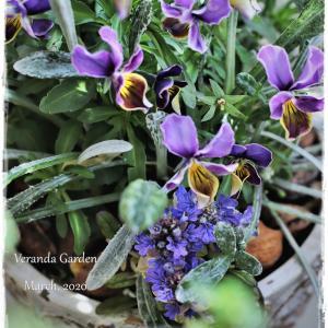 ちいさなベランダガーデン便り~ブルーとパープルの春のガーデン