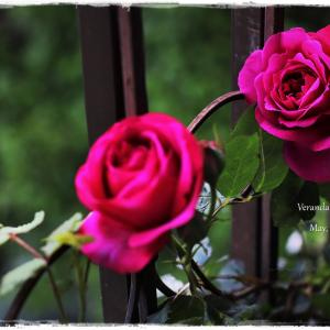 ちいさなベランダガーデン便り~凛々しく咲く深紅のバラ